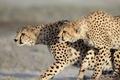 Картинка хищники, гепарды, дикие кошки, парочка