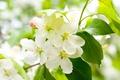 Картинка листья, цветы, вишня, дерево, ветка, весна, лепестки, зеленые, белые, цветение