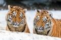 Картинка пара, тигрёнок, тигрята, кошки, ©Tambako The Jaguar, амурский тигр