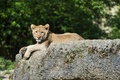 Картинка кошка, отдых, камень, лев, детёныш, котёнок, львёнок, ©Tambako The Jaguar