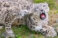 Картинка хищники, природа, пасть, семья, играются, Леопарды, зубы, красивые