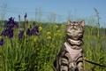 Картинка кошка, прогулка, лето, фон