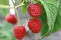 Картинка макро, природа, ягоды, малина, еда, растения, сад, ягода