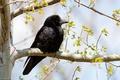 Картинка ворон, птица, природа