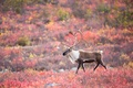 Картинка caribou, autumn, wildlife, tundra