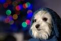 Картинка пёс, взгляд, капюшон, собачка, друг
