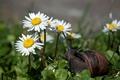 Картинка цветы, ромашки, травка, маленькая улитка