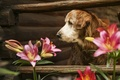 Картинка собака, взгляд, уветы, друг