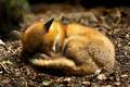 Картинка земля, хищник, мех, хвост, спит, animal, сон, калачиком, животное, природа, листва, ушки, dream, свернувшись, fox, ...