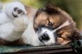 Картинка морда, крупный план, поза, портрет, собака, щенок, лежит