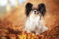 Картинка осень, сидит, листва, милый, папильон, фон, щенок, собака