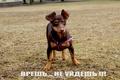 Картинка собака, прогулка, тойтерьер
