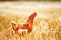 Картинка макро, курица, поле, рыжая