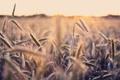 Картинка макро, поле, природа, фото, обои, колоски