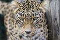 Картинка кошка, взгляд, леопард, персидский, ©Tambako The Jaguar