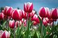 Картинка тюльпаны, пестрые, небо, бутоны