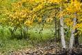 Картинка берёза, осень, природа
