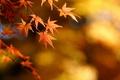Картинка фокус, осень, листья, клен