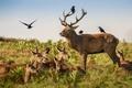 Картинка птицы, олени, природа