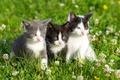Картинка цветы, flowers, kittens, grass, котята, травка