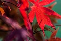 Картинка клен, природа, лист, осень, багрянец