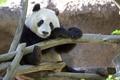 Картинка ветки, дерево, животное, медведь, панда, неволя