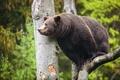 Картинка зелень, дерево, медведь, зверь