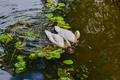 Картинка love, swan, water, lake, birds
