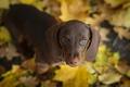 Картинка собака, взгляд, осень, природа, друг