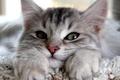 Картинка кошка, взгляд, серый, смотрит, уши, глаза, лапы, кот