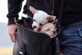 Картинка чихуахуа, мордашки, собаки, сумка, переезд, парочка