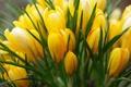 Картинка крокусы, желтый, весна