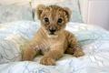 Картинка Львенок, малыш, детеныш, дикие кошки, хищник, котенок