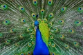 Картинка перья, хвост, павлин, птица