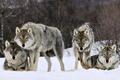 Картинка Волки, зима, снег, взгляд, хищник, стая, зверь
