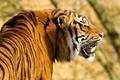 Картинка тигр, полоски, хищник, профиль, амурский