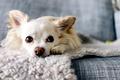 Картинка собака, взгляд, Chihuahua, друг