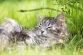Картинка кот, кошак, лежит, травка, котяра