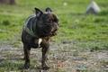 Картинка собака, бульдог, dog, french, французский, зелень, bulldog, гримаса, лето, трава