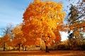 Картинка golden brown, tree, autumn