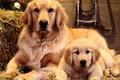 Картинка Семья, собаки, портрет