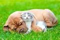 Картинка собака, взгляд, щенок, друг, котёнок, пушистый, трава, сон