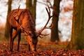 Картинка листва, рога, свет, осень, олень
