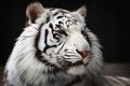 Картинка мех, хищник, морда, белый тигр, дикая кошка