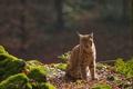 Картинка дикая кошка, зевок, рысь
