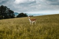 Картинка deer, field, clouded