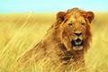 Картинка трава, взгляд, морда, лев, саванна, кудри, молодой