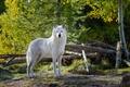 Картинка белый. взгляд, животное, wolf, природа, волк, деревья