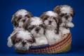 Картинка квинтет, корзина, ши-тцу, щенки