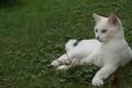 Картинка кошка, лежит, окрас, трава, белый